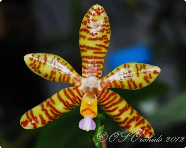 Phalaenopsis Chaida Sherry